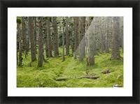 Spruce Forest & Moss Near Coast Kodiak Island Southwest Alaska Picture Frame print