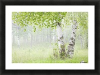 Birch trees in fog;Thunder bay ontario canada Picture Frame print