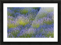 Rows of lavender plants in a field in the cowichan valley;Vancouver island british columbia canada Picture Frame print