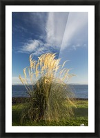 Tall grasses growing at the water's edge;Dumfries and galloway scotland Picture Frame print