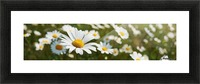 Close up of daisies in a meadow;England Picture Frame print