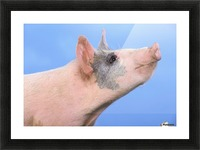 Pig with a blue background;British columbia canada Picture Frame print