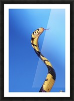 Forest cobra (naja melanoleuca) against a blue background;British columbia canada Picture Frame print