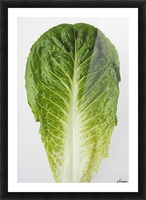 Agriculture - Closeup of a Romaine lettuce leaf on a white surface, studio. Picture Frame print