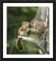 Two Red Squirrels (Sciurus Vulgaris) Playing In A Tree; Ontario, Canada Picture Frame print