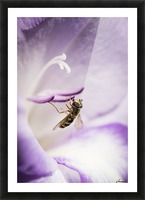 A Hoverfly Visits A Gladiolus Blossom; Astoria, Oregon, United States Of America Picture Frame print