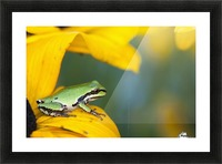 A Pacific Tree Frog (Pseudacris Regilla) Hunts For Insects On A Rudbeckia Blossom; Astoria, Oregon, United States Of America Picture Frame print