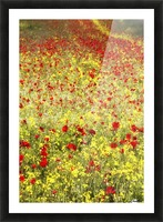 Abundance of red poppies in a field; Whitburn, Tyne and Wear, England Picture Frame print