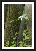 A Trillium grows from the trunk of a Western Red Cedar tree; Jewell, Oregon, United States of America Picture Frame print