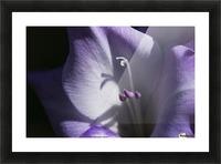 Purple gladiolus; Astoria, Oregon, United States of America Picture Frame print
