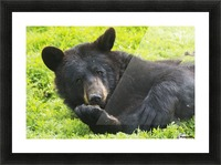 A black bear rolls around in the lush green grass Picture Frame print