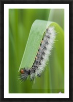 A caterpillar eats grass; Astoria, Oregon, United States of America Picture Frame print