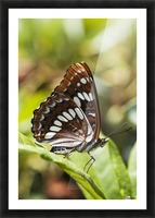 A White Admiral Butterfly (Limenitis arthemis) rests on a leaf; Astoria, Oregon, United States of America Picture Frame print