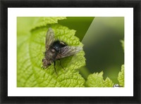 A fly rests on a leaf; Astoria, Oregon, United States of America Picture Frame print