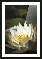 Water lily blooms in a pond; Astoria, Oregon, United States of America Picture Frame print