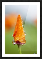 California poppy (Eschscholzia californica) remains closed in the rain; Astoria, Oregon, United States of America Picture Frame print