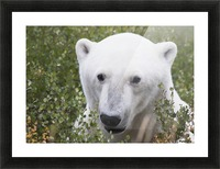 Large male polar bear (ursus maritimus) sitting in the willow bushes near Churchill; Manitoba, Canada Picture Frame print