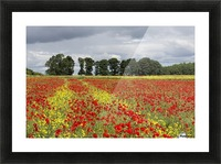 A field with an abundance of red and yellow flowers; Northumberland, England Picture Frame print