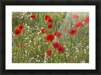 Red and white flowers blossoming in a field; Northumberland, England Picture Frame print