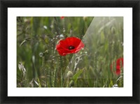 Close up of a red poppy blossoming; Northumberland, England Picture Frame print