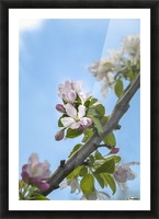 Pink and white crabapple flowers against a blue sky; Toronto, Ontario, Canada Picture Frame print