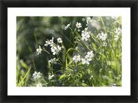 Buttercup (Ranunculus platanifolius); Black Forest, Germany Picture Frame print