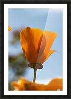 A california poppy (Eschscholzia californica) blooms in a garden against a blue sky; Astoria, Oregon, United States of America Picture Frame print