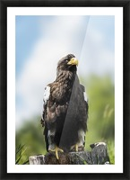 Golden Eagle, Assiniboine Park Zoo; Winnipeg, Manitoba, Canada Picture Frame print