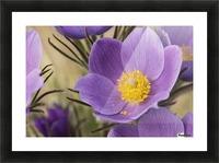 Crocus; Yukon, Canada Picture Frame print