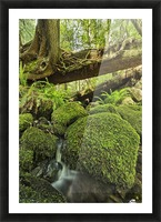 Rainforest in Avatar Grove near Tofino; British Columbia, Canada Picture Frame print