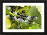 A dragonfly warms up in a vegetable garden; Astoria, Oregon, United States of America Picture Frame print