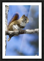 Eastern grey squirrel (Sciurus carolinensis) perched on a branch; Quebec, Canada Picture Frame print