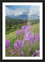 Scenic view of landscape near Palmer, Alaska, with Fireweed (Epilobium angustifolium) in the foreground, Southcentral Alaska, summer Picture Frame print