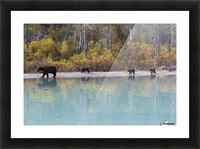Sow Grizzly and three cubs walking along the shore of Crescent Lake, Lake Clark National Park, Southcentral Alaska, Autumn Picture Frame print