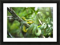 Green tree snake (Dendrelaphis punctulata); Madang Province, Papua New Guinea Picture Frame print