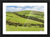 Cattle grazing on lush green hilly pastures with trees separating fields; County Kerry, Ireland Picture Frame print