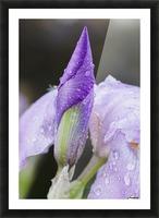 Close up of Iris; Quebec, Canada Picture Frame print