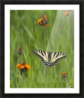Eastern tiger swallowtail (Papilio glaucus) butterfly resting on flowers; Ontario, Canada Picture Frame print