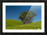 Collection of palm trees amongst hills covered in tea bushes, Satemwa Tea Estate; Thyolo, Malawi Picture Frame print