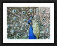 Peacock in full display mode attempting to attract a mate; Santa Cruz, Bolivia Picture Frame print