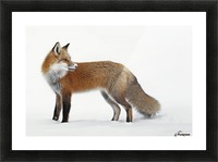 Fox in the snow; Montreal, Quebec, Canada Picture Frame print