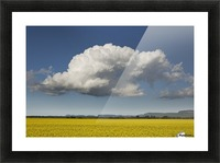 Canola field with blue sky and cloud; Thunder Bay, Ontario, Canada Picture Frame print