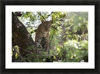 Leopard staring from tree in Lake Manyara National Park; Tanzania Picture Frame print