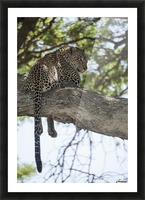 Leopard resting in tree near Ndutu, Ngorongoro Crater Conservation Area; Tanzania Picture Frame print