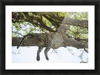 Leopard sprawled on tree limb near Ndutu, Ngorongoro Crater Conservation Area; Tanzania Picture Frame print