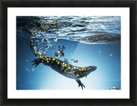 Salamander (Caudata) swimming in water; Tarifa, Cadiz, Andalusia, Spain Picture Frame print