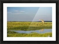 Giraffe (Giraffa camelopardalis), Chobe National Park; Kasane, Botswana Impression et Cadre photo