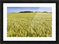 Wide angle image of a barley field with blue sky; Brittany, France Picture Frame print