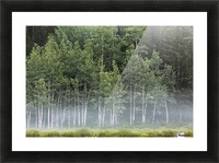 Fog covering a row of aspen trees in the early morning; Kananaskis Country, Alberta, Canada Picture Frame print