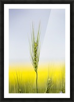 Close up of a green wheat head with the yellow colour of a flowering canola field in the background and blue sky; Acme, Alberta, Canada Picture Frame print